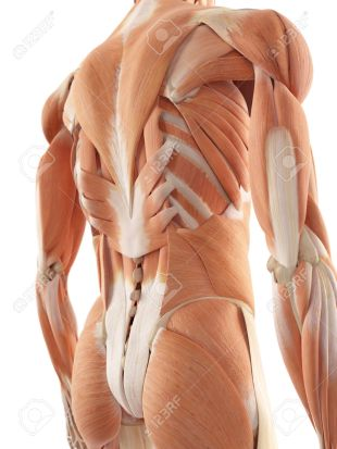 The Muscles in Your Back | Deep t.Issue Therapy & Reiki