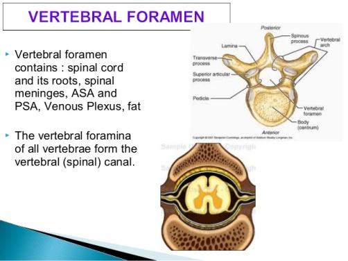 anatomy-of-vertebral-column-36-638