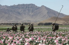 US Nato troops patrolling the poppy fields.