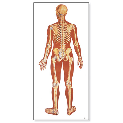 V2002M_01_The-Human-Skeleton-Chart-rear